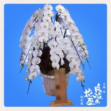 15本立ちの胡蝶蘭…