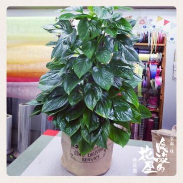 新築御祝の観葉植物…